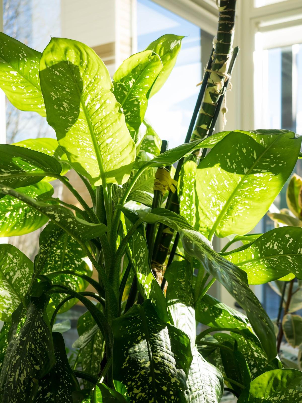 viherkasvi, kirjovehka, iso kasvi