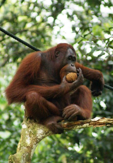 Orangutan Mudah Tidur