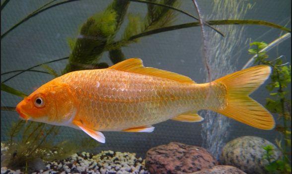 Ikan Air Tawar Konsumsi - Ikan Mas