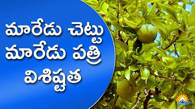 శ్రీఫలము | మారేడు చెట్టు | మారేడు కాయ | Maredu | Bael | Aegle marmelos | Maredu Chettu | Maredu Kaya | Maredu Dalam | Maredu Dhalam | Maredu Patri | Mohanpublications | Granthanidhi | Bhakthipustakalu | Bhakthi Pustakalu | Bhaktipustakalu | Bhakti Pustakalu | BhakthiBooks | MohanBooks | Bhakthi | Bhakti