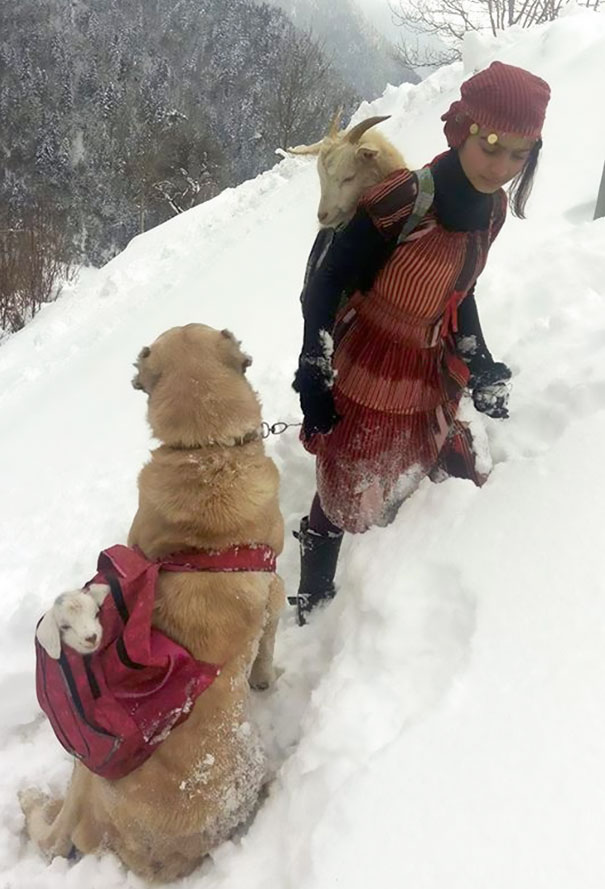 This Girl And Her Dog Just Saved A Mom Goat With Her Baby, And It's The Sweetest Thing You'll See Today - They safely returned home. 'The snow was so thick, I was exhausted… But it was worth it'