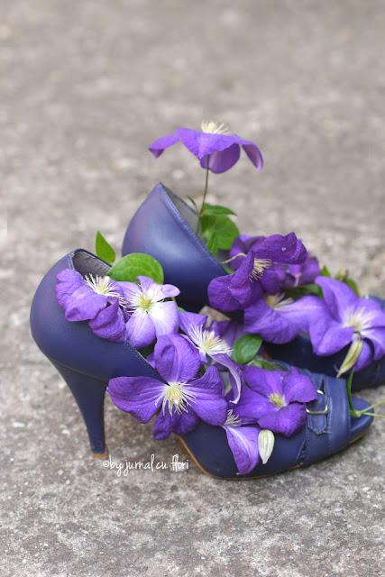 clematis mov in papuci clematis flowers and shoes