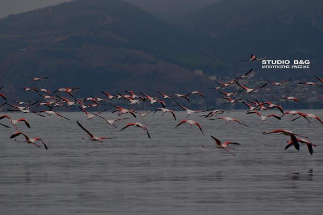 Απίστευτο θέαμα στο Ναύπλιο: Εκατοντάδες φλαμίνγκο γέμισαν τον υδροβιότοπο (βίντεο)