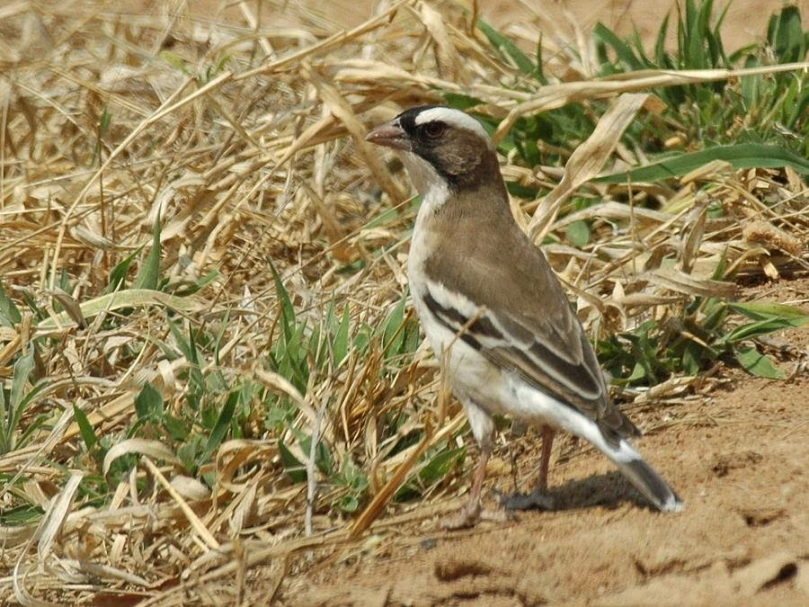 White-browed Sparrow-weaver