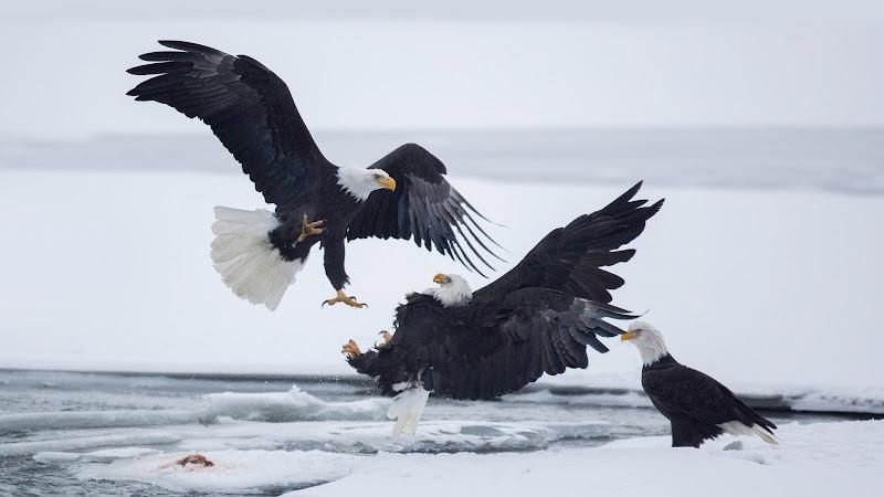 Birds. Predators. Bald Eagle