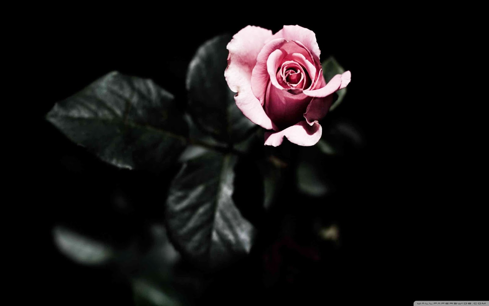 single pink rose wallpaper