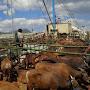 Keunggulan Kapal Ternak Rekomendasi KPK, Perbaiki Tata Kelola Daging