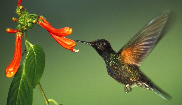 Colibri y polinizacion en biologia