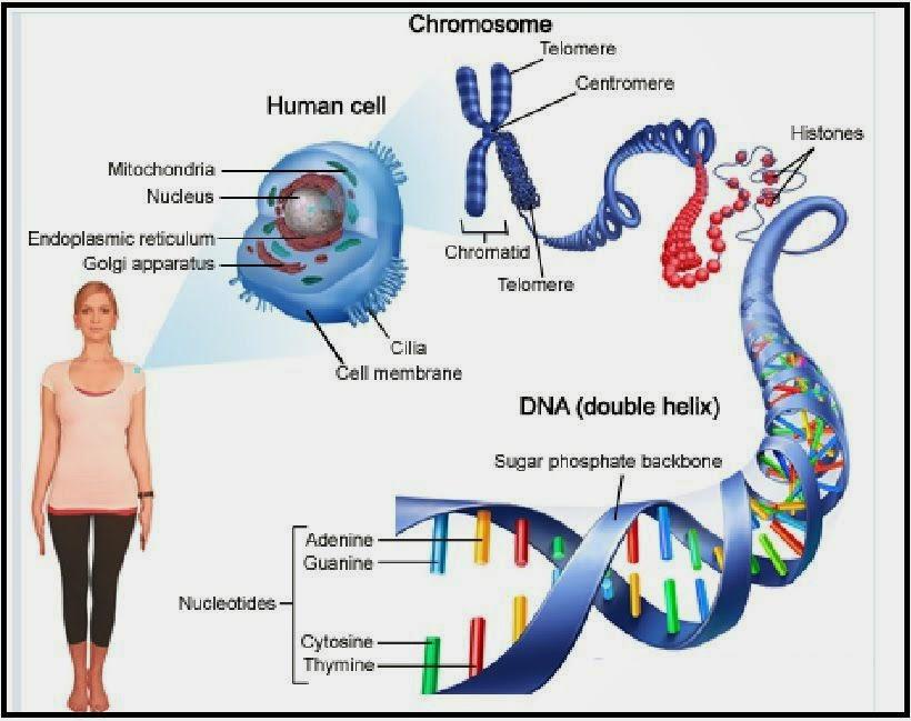 Pengertian Dan Konsep Kromosom