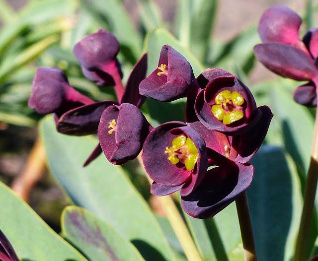 Euphorbia atropurpurea f. atropurpurea - Tabaiba roja o tabaiba mejorera 02