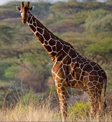 Giraffe - Animals That Start With G