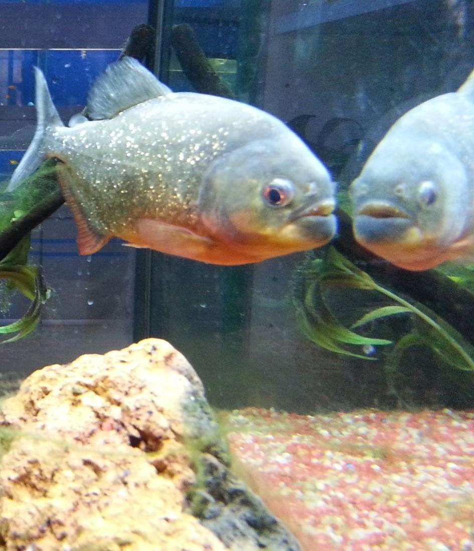 pirana aquarium pesci tropicali d 39 acqua dolce piranha