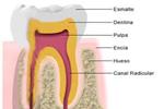 Las partes en las que se divide el diente