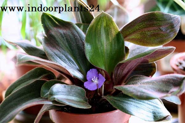 Brown Spiderwort Siderasis Fuscata indoor plant image