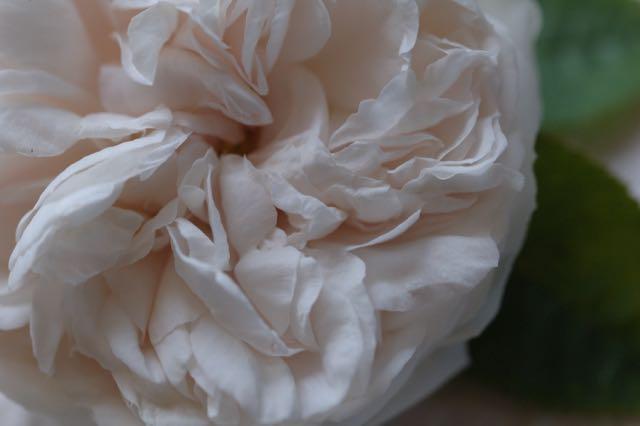 Blanchefleur The Hundred Leaved Rose