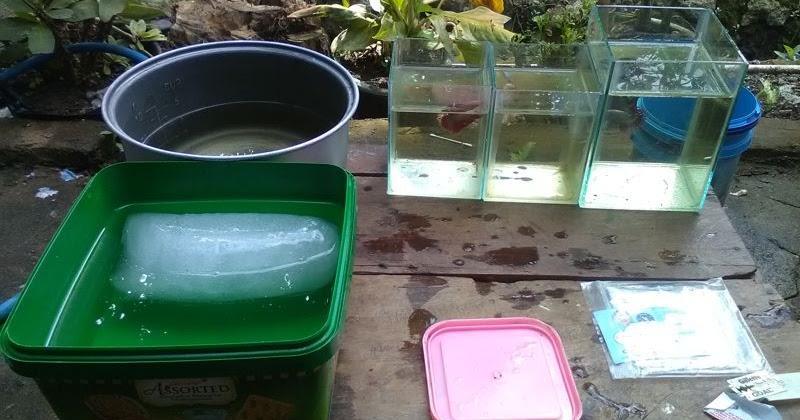 Cara Membius Ikan Cupang Dengan Es Ikan Hias Air Tawar Laut Dan Aquarium