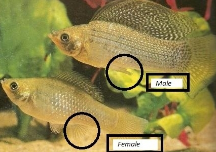 Mengenal Ikan Molly Sang Ikan Hias Air Tawar Cantik Pengisi Aquarium Info Aneka Ikan Hias Air Tawar