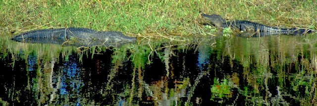 Caimanes a orillas del Saint Johns River