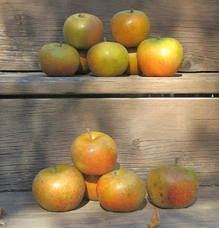 Stacks of golden-olive Ashmead's Kernal apples on wooden steps in dappled sunshine