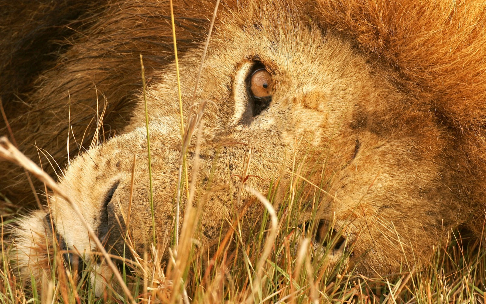 Lion Hd Wallpapers: HD Lion Pictures Lions Wallpapers