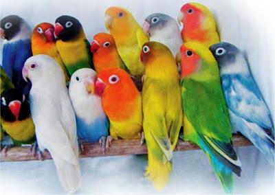 hasil silangan warna lovebird