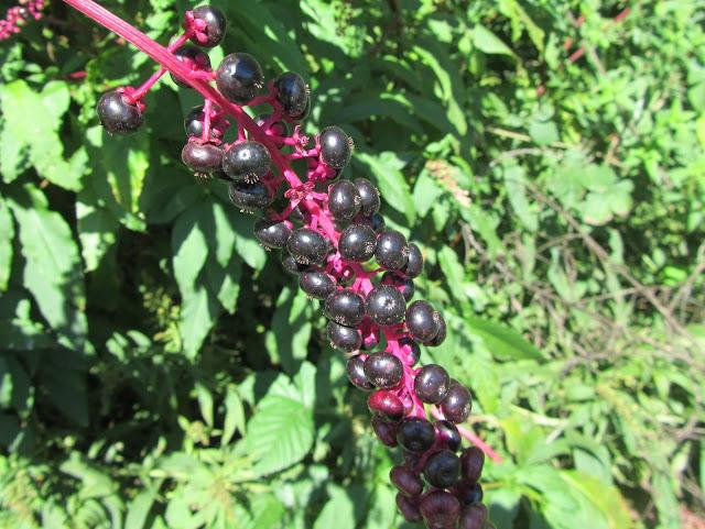 Phytolacca americana berries