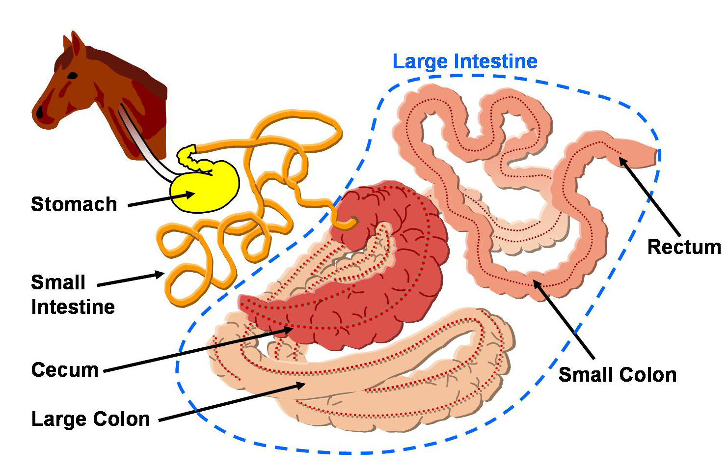 The Digestive Apparatus Of Animals Anatomically Digestive