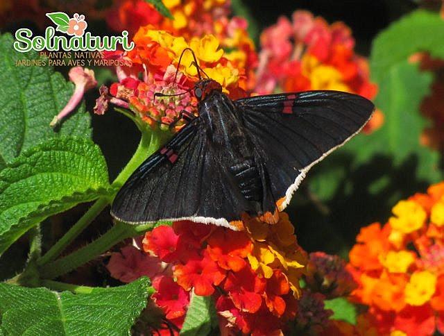 Phocides Mariposa polybius Polibio sangrante