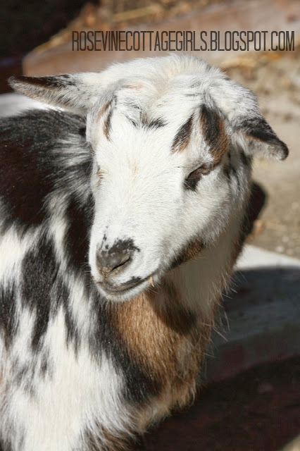 Image of a dwarf nigerian goat with brown, black spots on a white goat by rosevinecottagegirls.com
