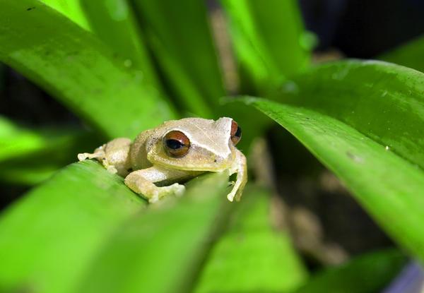 Coqui grenouille de Porto Rico