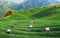 Легенды о чае