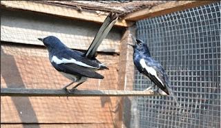 Burung Kacer - Pemilihan Indukan Jantan dan Betina Burung Kacer Untuk Ditangkarkan