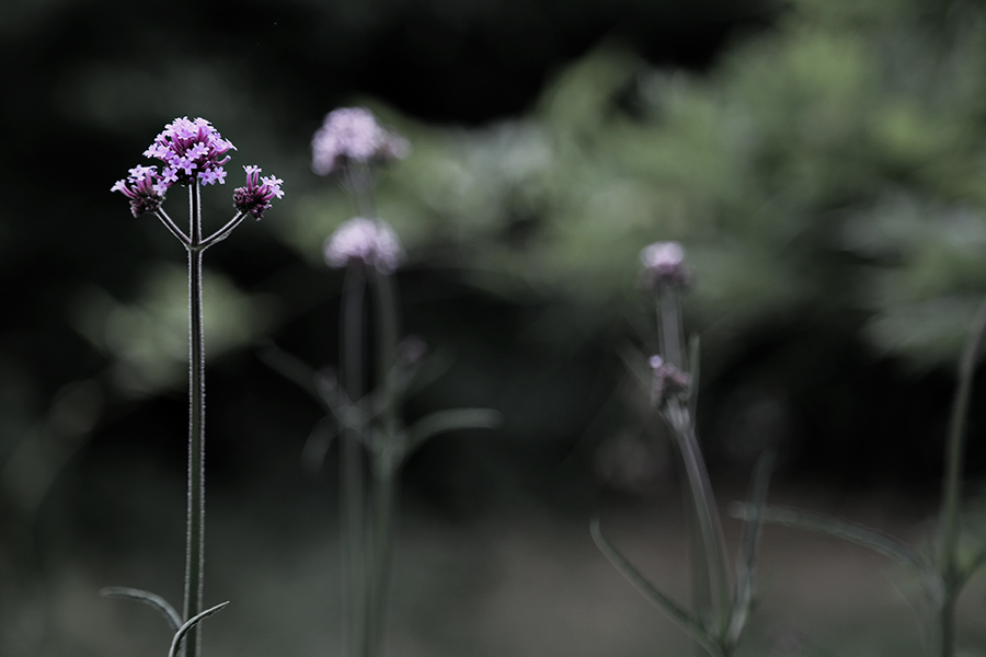 Jätteverbena - den trivs och växer fort