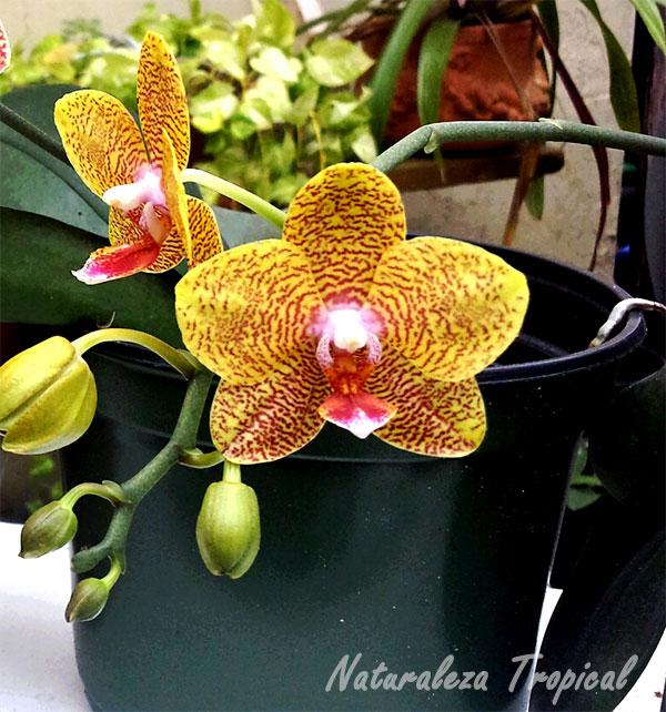 Maceta de plástico para el cultivo de orquídeas, en este caso una Phalaenopsis
