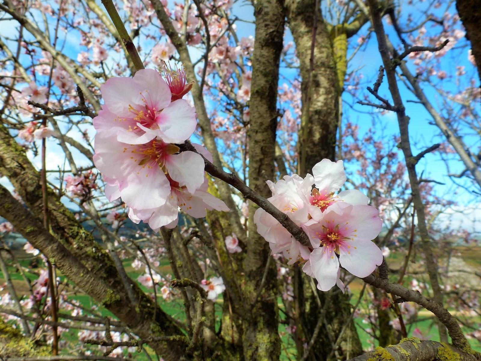 árboles Con Alma Almendro Ametller Prunus Dulcis