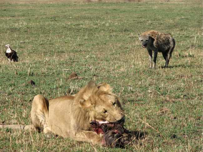 what is the relationship between lions and hyenas