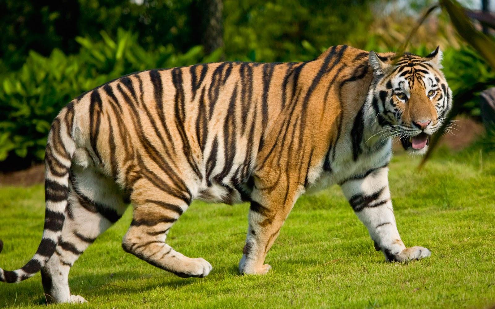 tiger full hd wallpaper mobile and desktop backgrounds free download