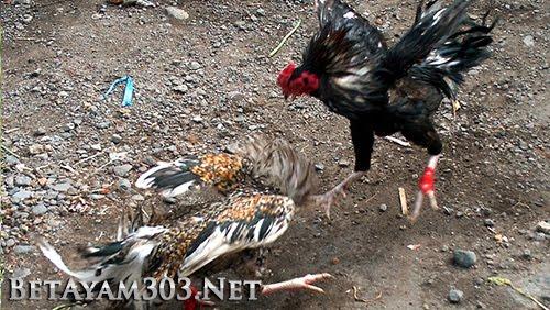 Judi S128 Sabung Ayam