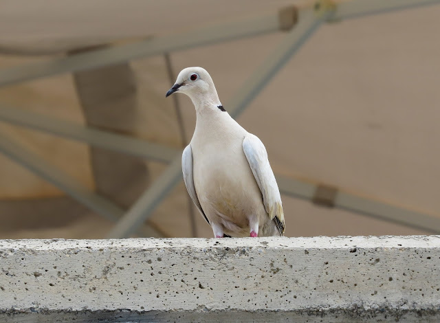 Collared Dove - Playa de las Américas, Tenerife