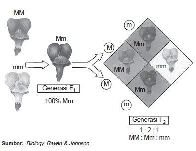 Perkawinan monohibrid menghasilkan sifat intermediat