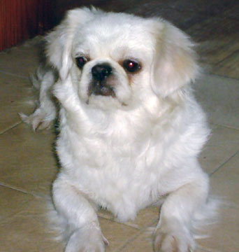 Cute Dogs White Pekingese Dog