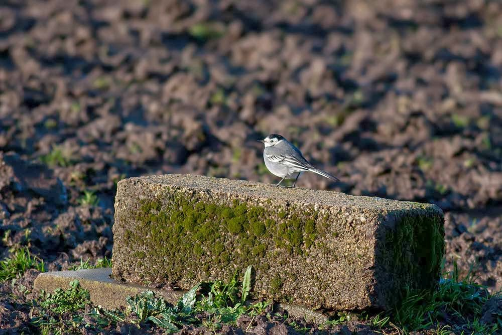 Pied Wagtail at Bradwell Abbey