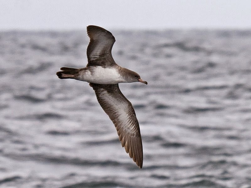 Oregon Pelagic Tours: Pink-footed Shearwater. Greg Gillson.