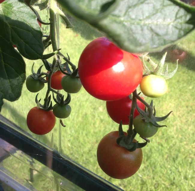 Tomatoes, green and red