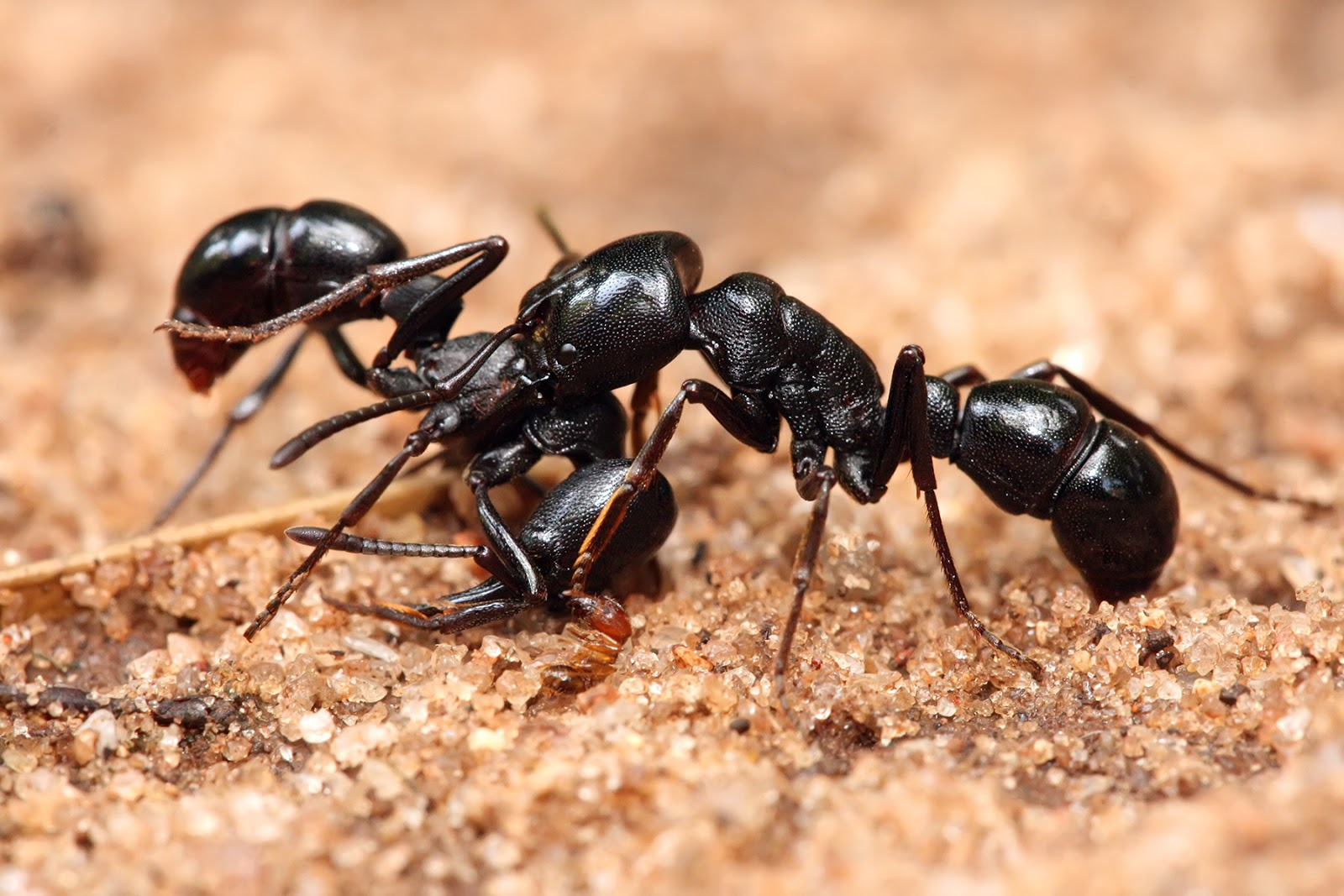 Insects: Plectroctena sp ants