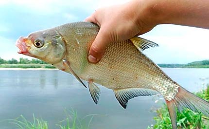 Лов леща в июле на озере