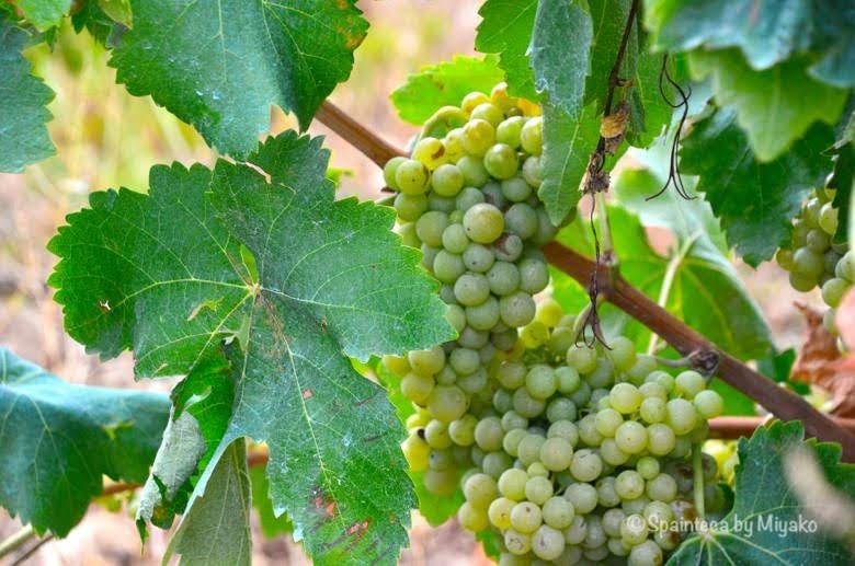 Uvas Blancas Rioja 北スペイン・リオハの収穫間近な白ぶどう