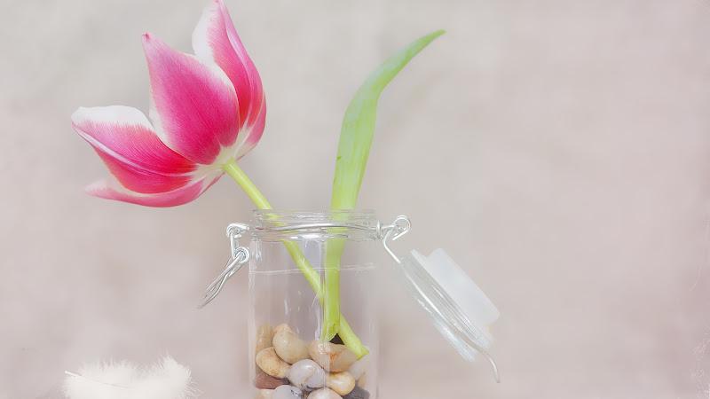 Pink Tulip Premium Flower Image HD