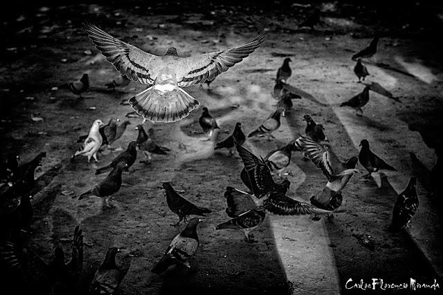 Foto Blanco y Negro.Unas ploma alas extendidas llegando.