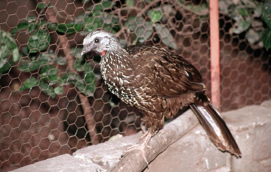 Bearded Guan